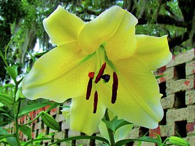 Photograph - Lily By The Wall by Cynthia Guinn