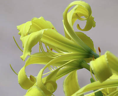 Photograph - Lily Curls - Cropped - Daylily by MTBobbins Photography