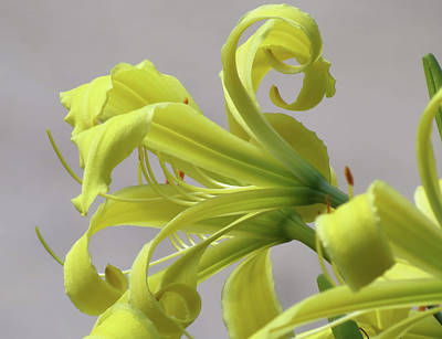Photograph - Lily Curls - Daylily by MTBobbins Photography