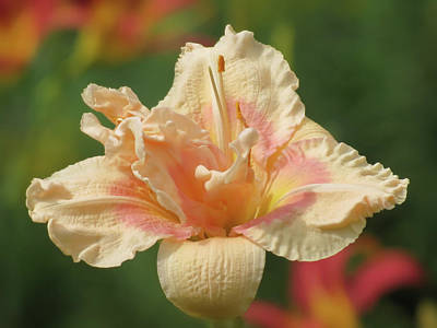 Photograph - Lily Flower - Daylily by MTBobbins Photography