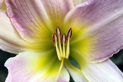 Photograph - Lily Glow by Cathy  Beharriell