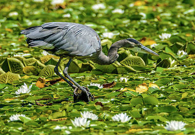 Photograph - Lily Heron by Jerry Cahill