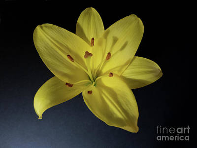 Photograph - Lily Illumined by Ann Horn