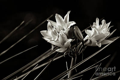 Photograph - Lily In Monochrome by Nicholas Burningham