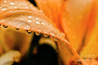 Lilies Royalty-Free and Rights-Managed Images - Lily in the Rain by Thomas R Fletcher