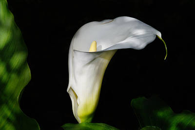 Lilies Royalty-Free and Rights-Managed Images - Lily in the shadows by Camille Lopez