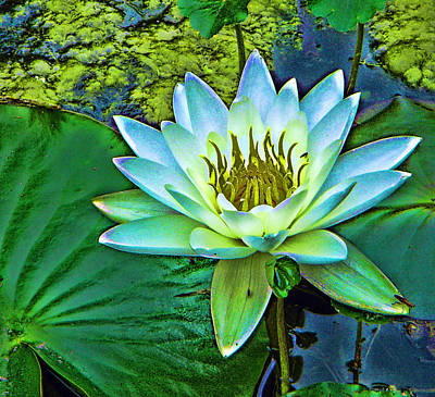 Lily Art Print by Laurie Prentice