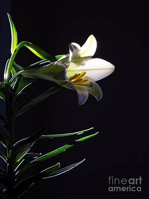 Photograph - Lily Light by Barbara McMahon