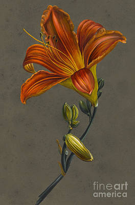 Lilies Drawing - Lily by Louise D'Orleans