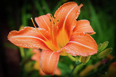 Photograph - Lily by Nicole Lloyd