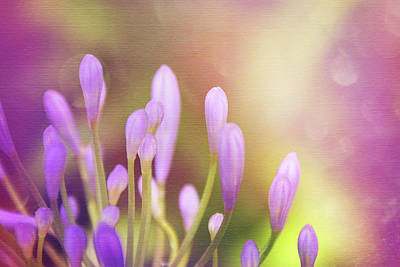 Violet Photograph - Lily Of The Nile Buds In Summer  by Carol Japp