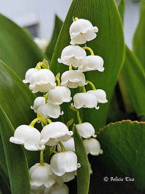 Photograph - Lily Of The Valey by Felicia Tica