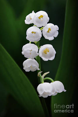 Photograph - Lily Of The Valley Blossoms by Catherine Sherman