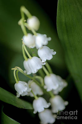 Photograph - Lily Of The Valley Bouquet II by Tamara Becker