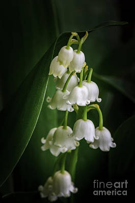 Photograph - Lily Of The Valley Bouquet by Tamara Becker