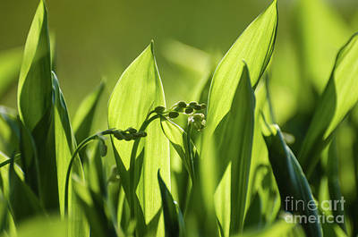 Photograph - Lily Of The Valley Buds by Kennerth and Birgitta Kullman