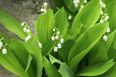 Photograph - Lily Of The Valley by Cristina Stefan
