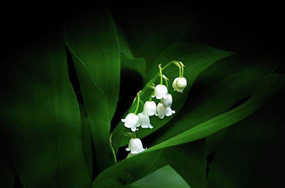 Photograph - Lily Of The Valley by Judy Johnson