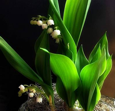 Photograph - Lily Of The Valley by Katie Wing Vigil