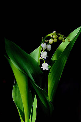 Photograph - Lily Of The Valley by Living Color Photography Lorraine Lynch