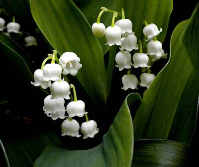 Painting - Lily Of The Valley by Renate Nadi Wesley