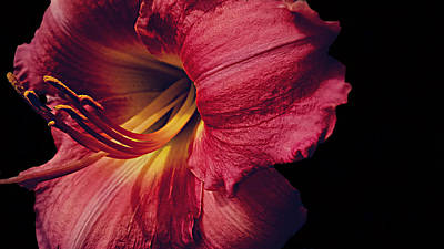Photograph - Lily On Black by Kevin D Davis