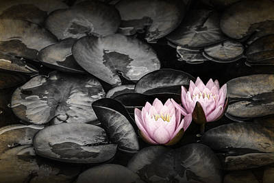 Photograph - Lily Pad Blossoms by Randall Nyhof