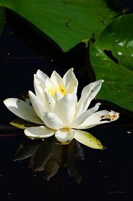 Photograph - Lily Pad Flower by Steven Clipperton