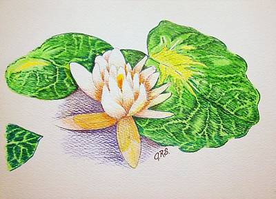 Lilies Drawings - Lily Pad by J R Seymour