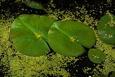 Lilies Royalty-Free and Rights-Managed Images - Lily Pad Pond by Steve Gadomski