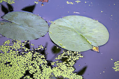 Photograph - Lily Pads And Duckweed Dow Gardends 2018 by Mary Bedy