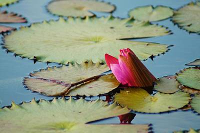 Photograph - Lily Pads And Flower by Lynda Dawson-Youngclaus