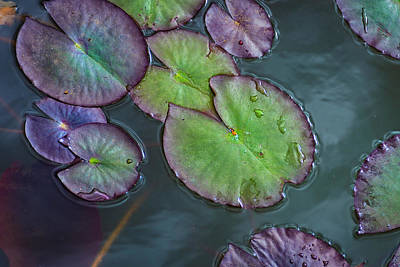 Photograph - Lily Pads by Rick Mosher