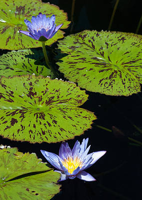 Photograph - Lily Pads by Tom Potter