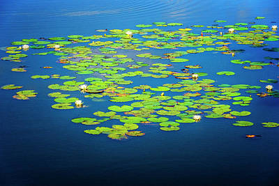 Photograph - Lily Pads by Tom Singleton
