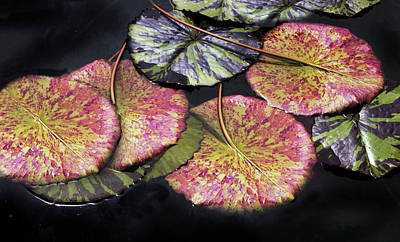 Photograph - Lily Pond Jewels Afloat by Jessica Jenney