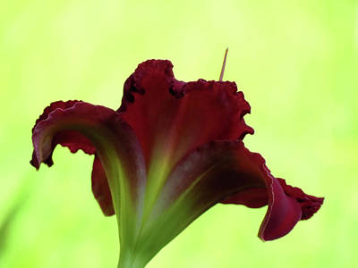Photograph - Lily Red On Yellow Green - Daylily by MTBobbins Photography