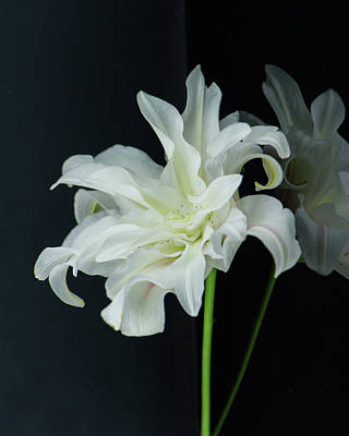 Photograph - Lily Reflected by Nancy Kirkpatrick