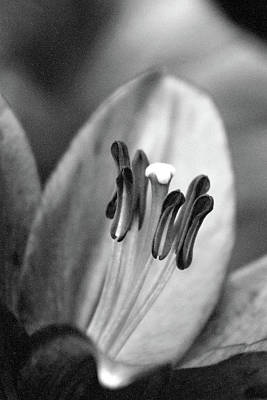Photograph - Lily - Simply Spring 06 - Bw - Water Paper by Pamela Critchlow