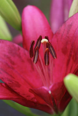 Photograph - Lily - Simply Spring 09 by Pamela Critchlow