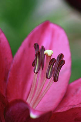 Photograph - Lily - Simply Spring 15 by Pamela Critchlow