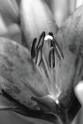 Photograph - Lily - Simply Spring 26 - Bw - Water Paper by Pamela Critchlow