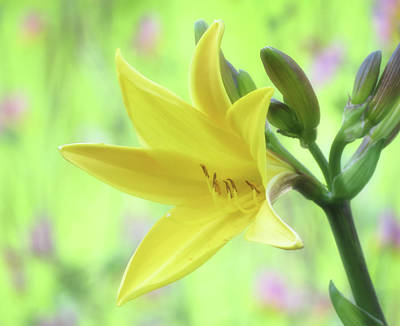 Photograph - Lily Spring Close Up - Daylily by MTBobbins Photography