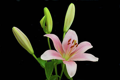 Photograph - Lily The Pink by Terence Davis