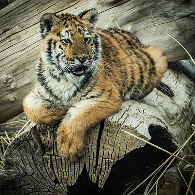Photograph - Lily Tiger 4534 by Janis Knight