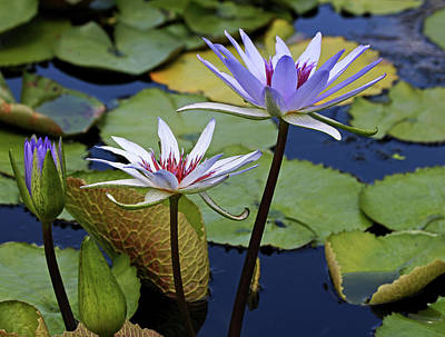 Photograph - Lily Trio by Judy Vincent