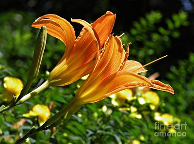 Lilies Royalty-Free and Rights-Managed Images - Lily Twins by Sarah Loft