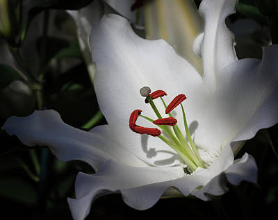Art Print featuring the photograph Lily White by Robert Pilkington