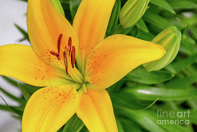 Photograph - Lily by William Norton