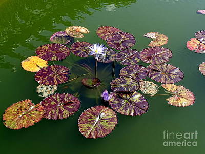 Photograph - Lilypad Beauty by Ed Weidman